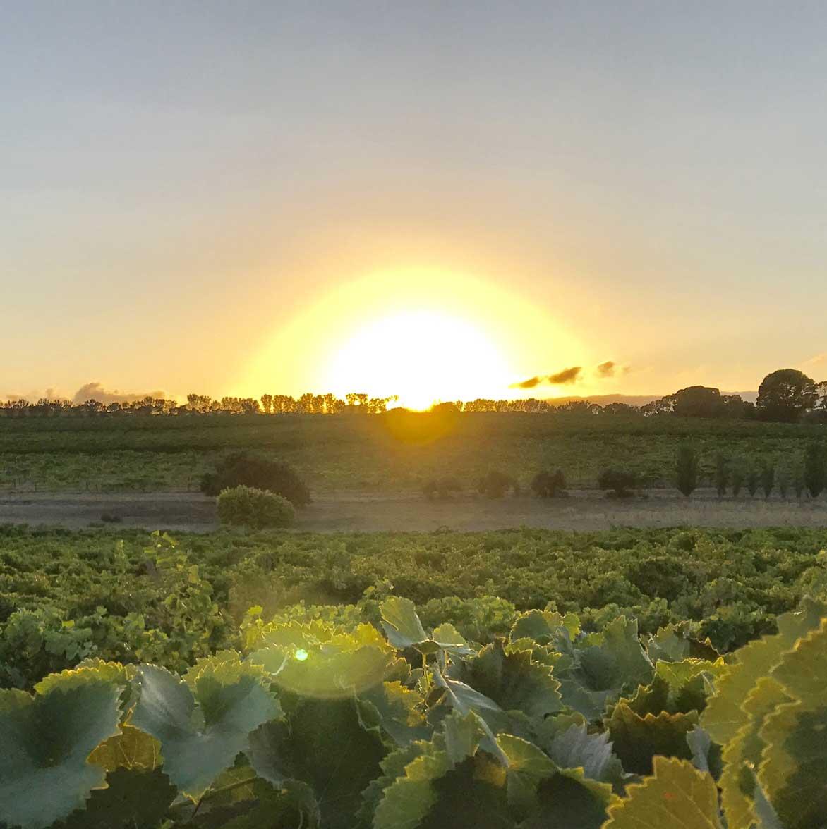 Oliver's Taranga Vineyards_Sunrise_McLaren Vale