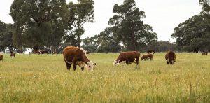 Teys cows   2021