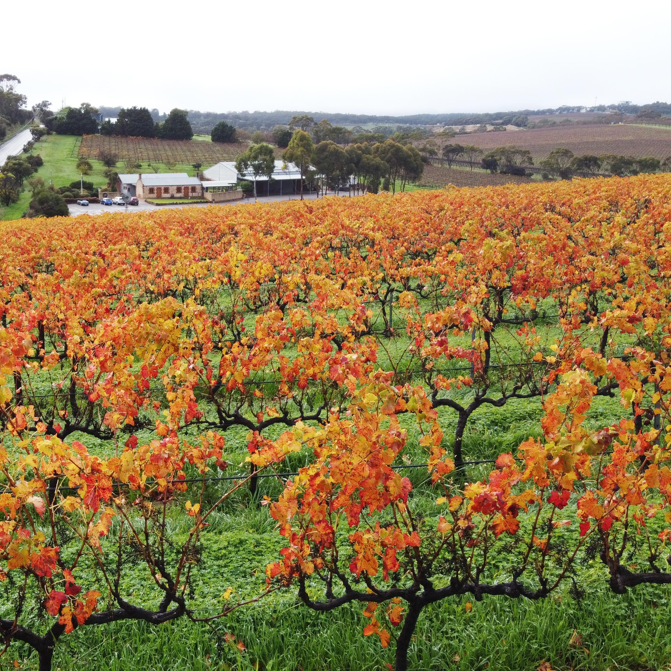 Olivers_taranga_vineyards